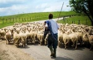 pastor detrás de sus ovejas